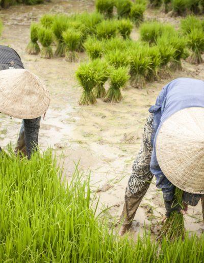 Repiquage du riz. Village de Vang Vieng, Laos. Massimo Municchi photographe