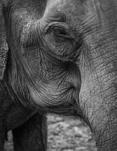 Close up shot of elephant. Thailand. Massimo Municchi photographer